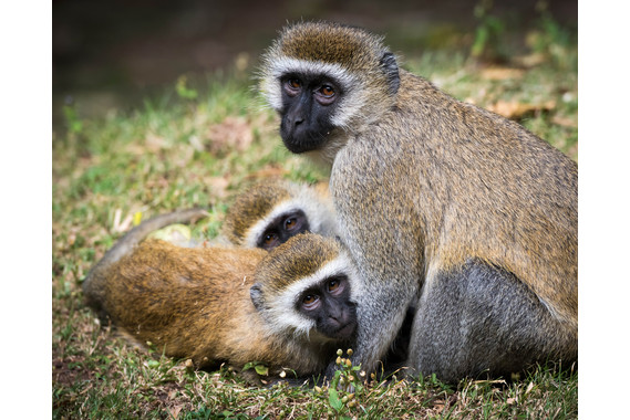 <p>Vervet Monkeys - Highly Commended - Print: Open <small>&copy; Neil Anderson</small></p>