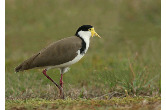 <p>Masked Lapwing - Second Place - Print: Open <small>&copy; Ron Clarke</small></p>