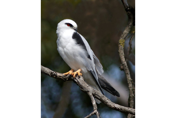 <p>Black Shouldered Kite - 2nd Place - Open Prints <small>&copy; Ronald Clarke</small></p>