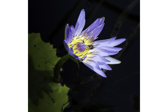 <p>1st Place - A Grade: Open Digital - Water Lily <small>&copy; Neil Anderson</small></p>
