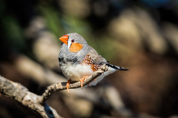<p>3rd - A Grade: Open Print - Zebra Finch <small>&copy; Kathryn Hocking</small></p>