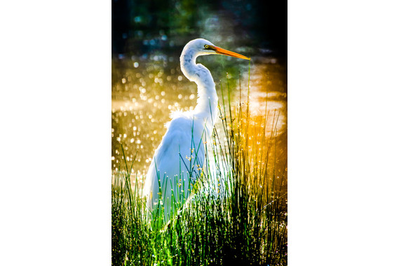 <p>1st - B Grade: Open Print - A Watchful Egret <small>&copy; Leo Loque</small></p>