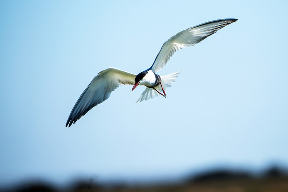 <p>2nd - A Grade: Open Print - Fairy Tern <small>&copy; Neil Anderson</small></p>