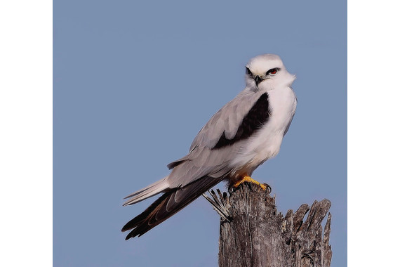 <p>HC - A Grade: Open Print - Black Shouldered Kite <small>&copy; Ronald Clarke</small></p>